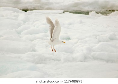 Glaucous Gull (Larus hyperboreus) Flying Over the Ice Pack on the Arctic Ocean off the Coast of Spitsbergen Svalbard Archipelago in Northern Norway