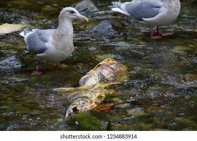 Glaucus winged seagull eyes a dead chum salmon in midstream, Goldstream River, Vancouver Island, British Columbia.
