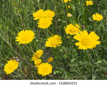 Glebionis segetum or Chrysanthemum segetum bright yellow flowers. Floral field of corn marigold or corn daisy plants. Wild meadow. G. segetum is a herbaceous perennial plant in the Asteraceae family.