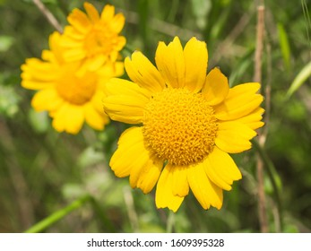 Glebionis segetum or Chrysanthemum segetum bright yellow flowers. Floral field of corn marigold or wild corn daisy plants. G. segetum is a herbaceous perennial plant in the Asteraceae family.