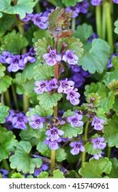 Glechoma hederacea blooming