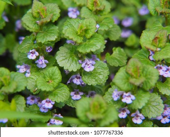 Glechoma hederacea syn.  Nepeta glechoma, Nepeta hederacea - ground-ivy, gill-over-the-ground, creeping charlie, alehoof, tunhoof, catsfoot, field balm, and run-away-robin