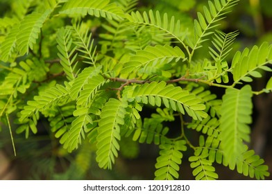 Gleditsia triacanthos elegantissima or thorny locust green plant