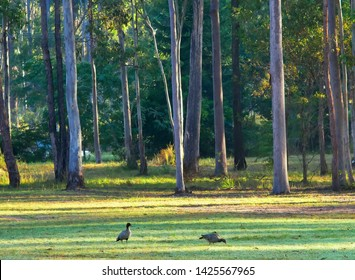 GLENWOOD, QUEENSLAND, AUSTRALIA : Wood duck pair or maned geese (male on left) feed on grass shoots in  mown lawn habitat in the leafy suburb, artificial habitat ecologically equivalent to wetlands.