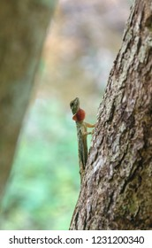 Gliding lizards - Draco is a genus of agamid lizards that are also known as flying lizards, flying dragons or gliding lizards.