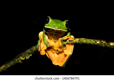 Gliding tree frog (Agalychnis spurrelli) sitting on a branch at Siquirres in the Limon province of Costa Rica