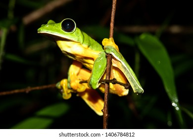 Gliding tree frog (Agalychnis spurrelli) sitting on a branch at the Osa Peninsula, corcovado national park.