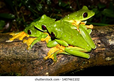 gliding tree frog (Agalychnis spurrelli) or gliding leaf frof of spurrell's leaf frog. Four males fighting on a branch. Photo taken at Corcovado national park, Osa Peninsula, Costa Rica.