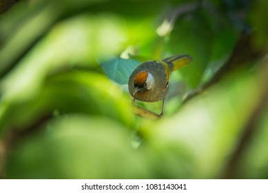 Glimpse of the Chestnut-tailed Siva, scientific name Chrysominla strigula, through the leaves in the Inthanon National Park, Chaingmai Thailand