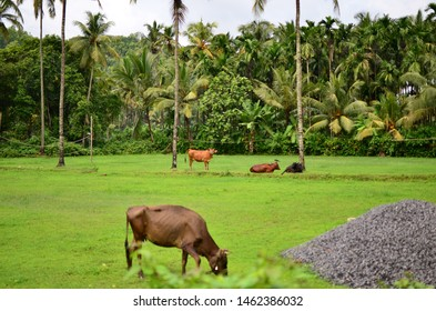 Glimpses of rural India - Cow grazing in an uncultivated field, Polali, Bellore, Mangalore, Karnataka, India