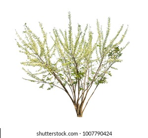 Gliricidia sepium tree isolated on white background high resolution for graphic decoration, suitable for both web and print media