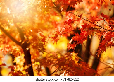Glistening autumn trees. Orange and red Japanese maple leaves in fall sun shine. Autumn foliage scene.