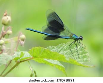 a Glistening dawn, navy blue dragonfly