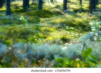 Glistening from the summer sun pine blueberry-cranberry forest