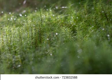 glittering dew on moss
