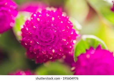 Globe Amaranth or Bachelor Button flower macro close-up shot in nature