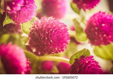Globe Amaranth or Bachelor Button flower macro close-up shot in nature vintage color