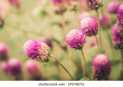 Globe Amaranth or Bachelor Button flower macro close-up shot in nature vintage