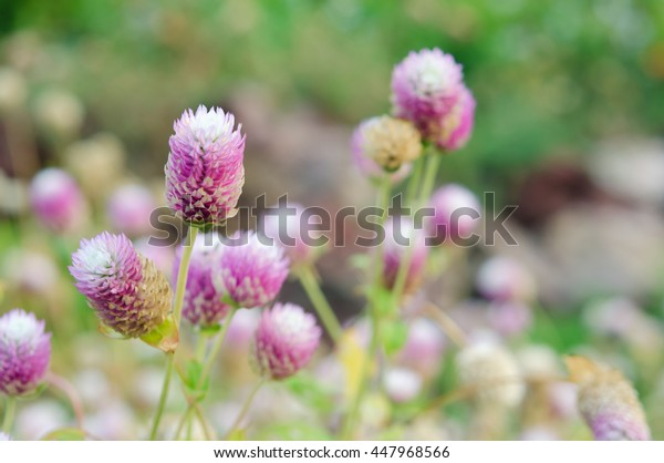 Globe Amaranth Flower (Other names are Amaranthus, Tampala, Tassel Flower, Flaming Fountain, Fountain Plant, Joseph's Coat, Amaranth, Molten Flower, Prince's Feather and Summer Poinsettia)