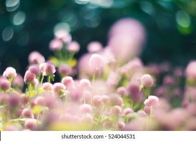 Globe amaranth  , Flowers, Bokeh background