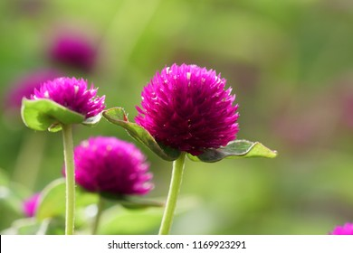 Globe amaranth or Gomphrena globosa, Globe Amaranth, Bachelor Button