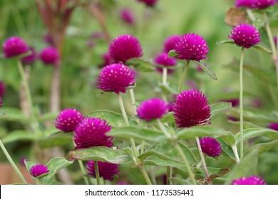 Globe amaranth or Gomphrena globosa, Globe Amaranth, Bachelor Button