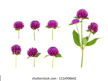 Globe Amaranth isolated on white background
