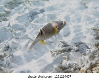 Globe fish (puffer fish) on coral reefs