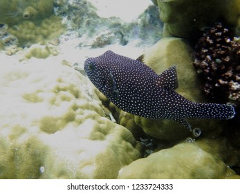 Globe fish (puffer fish) over coral reefs