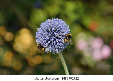 globe thistle ( Echinops bannaticus) plant and bumblebee