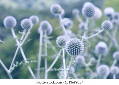 Globe thistle flowers toned in blue