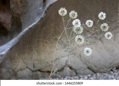 Globe Thistle In Nature - (Echinops bannaticus)