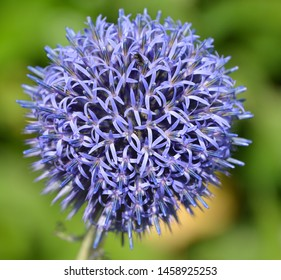 Globe Thistle(Echinops ritro) is a striking perennial that requires full sun and is very drought-tolerant.