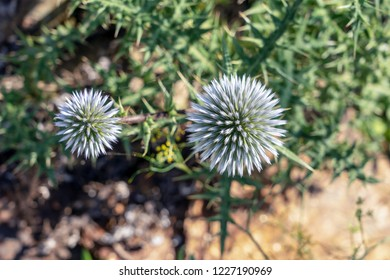 Globe Thistles with blurred background