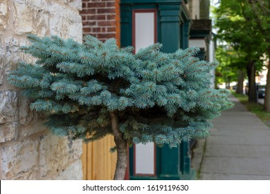 Spruce Bonsai Hd Stock Images Shutterstock