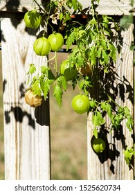 globose vine, cardiospermum halicacabum, in the garden next to the fence