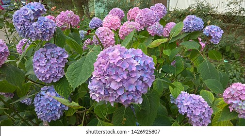 Globular inflorescence of light purple-pink flowers. Spherical clumps of pale pink-blue florets on the branches densely covered with green leaves. Vigorously thriving bicolour lilac-pink hydrangeas.