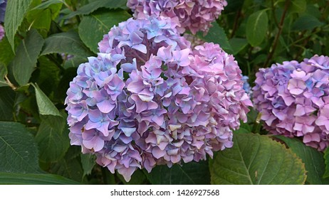 Globular inflorescence of small, pale pink-blue flowers against green leaves. Hydrangea pink-lilac florets,arranged in dense, large, spherical clusters. Ball-shaped clusters of pink-pale purple blooms