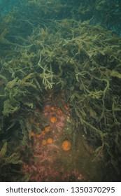 Globular orange golfball sponges growing on large boulder under dense growth of brown sea weeds covered with fine sediment.