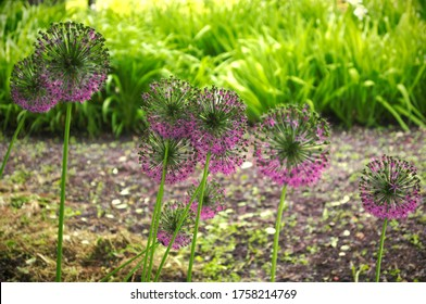 Globular purple garlic flowers on a background of green grass.