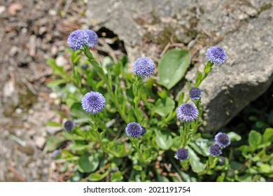 Globularia trichosantha is an ornamental evergreen plant.  Blooms from early spring and through the summer carrying pale blue flowers that brighten in the summer