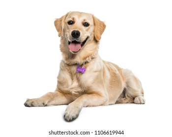 Gloden Retriever dog lying and panting, isolated