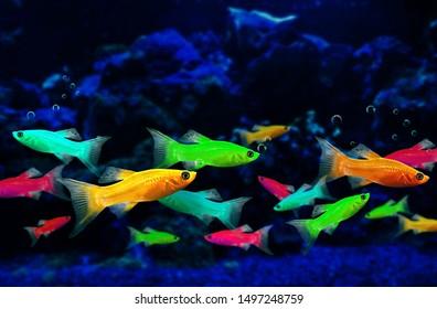 Glofish, genetically engineered fluorescent fish in an aquarium