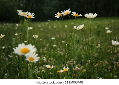 Gloomy daisy meadow