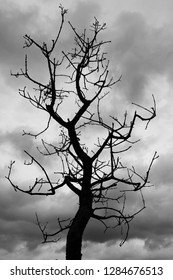 gloomy silhouette of old dead sinister ominous tree with gnarled branches against cloudy somber sky
