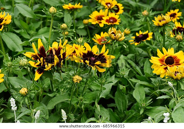 Gloriosa Daisy Browneyed Susan Stock Photo Edit Now 685966315 Im showing you guys how i feed alan the monster the lives in. shutterstock