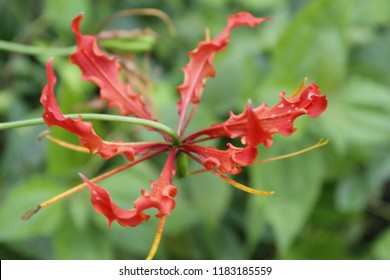 Gloriosa superba Blooming in wild.Also known as flame lily and climbing lily. It is an anthelmintic. It has been used as a laxative and an alexiteric. The sap is used to treat acne and head lice.