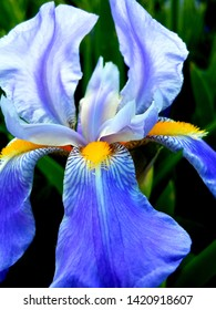 Glorious Blue Iris in the Spring