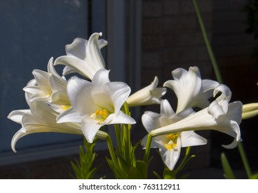 Glorious Lilium candidum  Madonna Lily  a plant in the genus Lilium, one of the true lilies flowering in late spring is a decorative addition to the garden landscape and a long lasting cut flower.