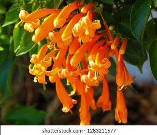 Glorious orange trumpet flowers of orange trumpet vine pyrostegia ignea flowering in late autumn to winter  brightens up the dull  garden landscape with a profusion of bright flamboyant flowers.